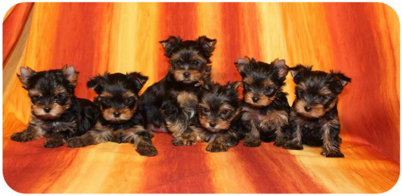 Szceniaczki Yorkshire Terrier Beautiful York
